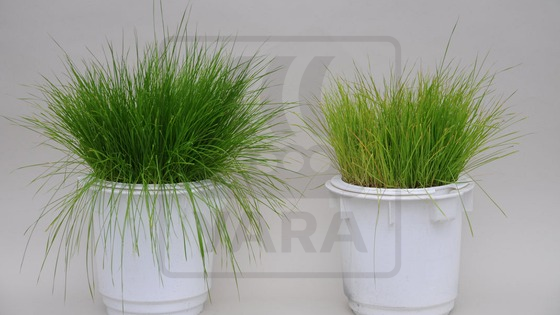 Sulphur deficiency in grass grown in the greenhouse