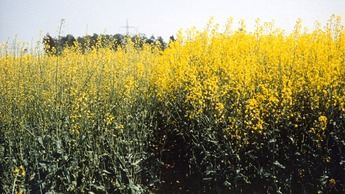 Oilseed rape with advanced sulphur deficiency (left). Growth is reduced, flowering is sparse and white.