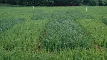 Sulphur deficiency in in a wheat with typical pale chlorosis on newer leaves and stunted growth