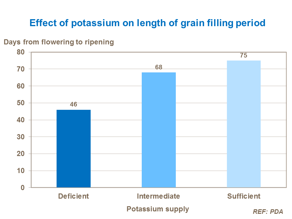 Effect of potassium on length of grain filling period