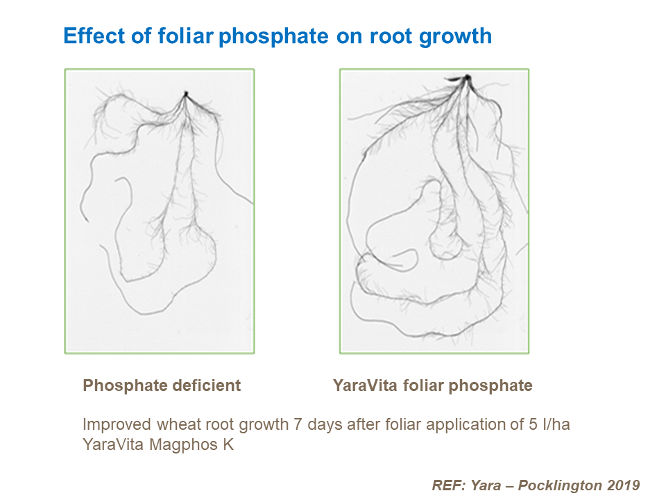 Effect of foliar phosphate on root growth
