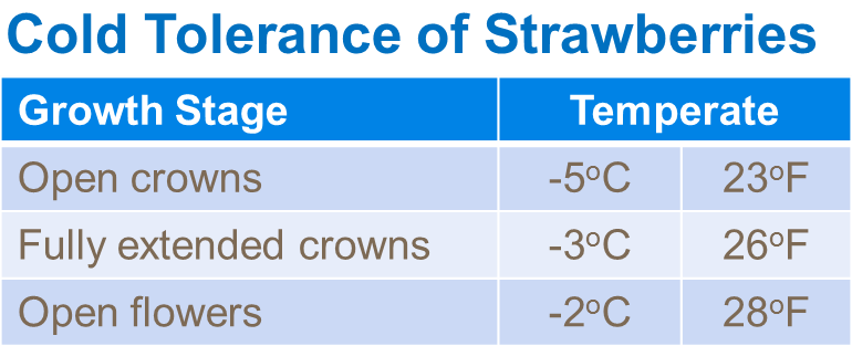Cold tolerance of strawberries