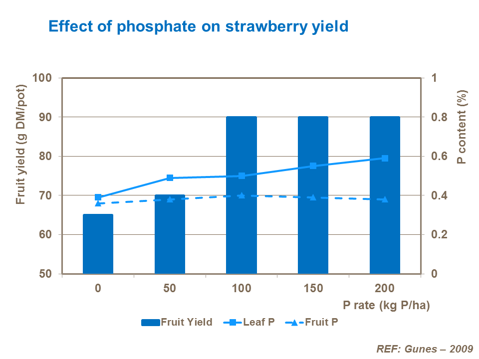 Effect of phosphate on strawberry yield